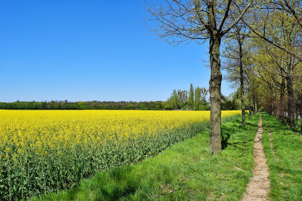 field, oilseed rape, yellow