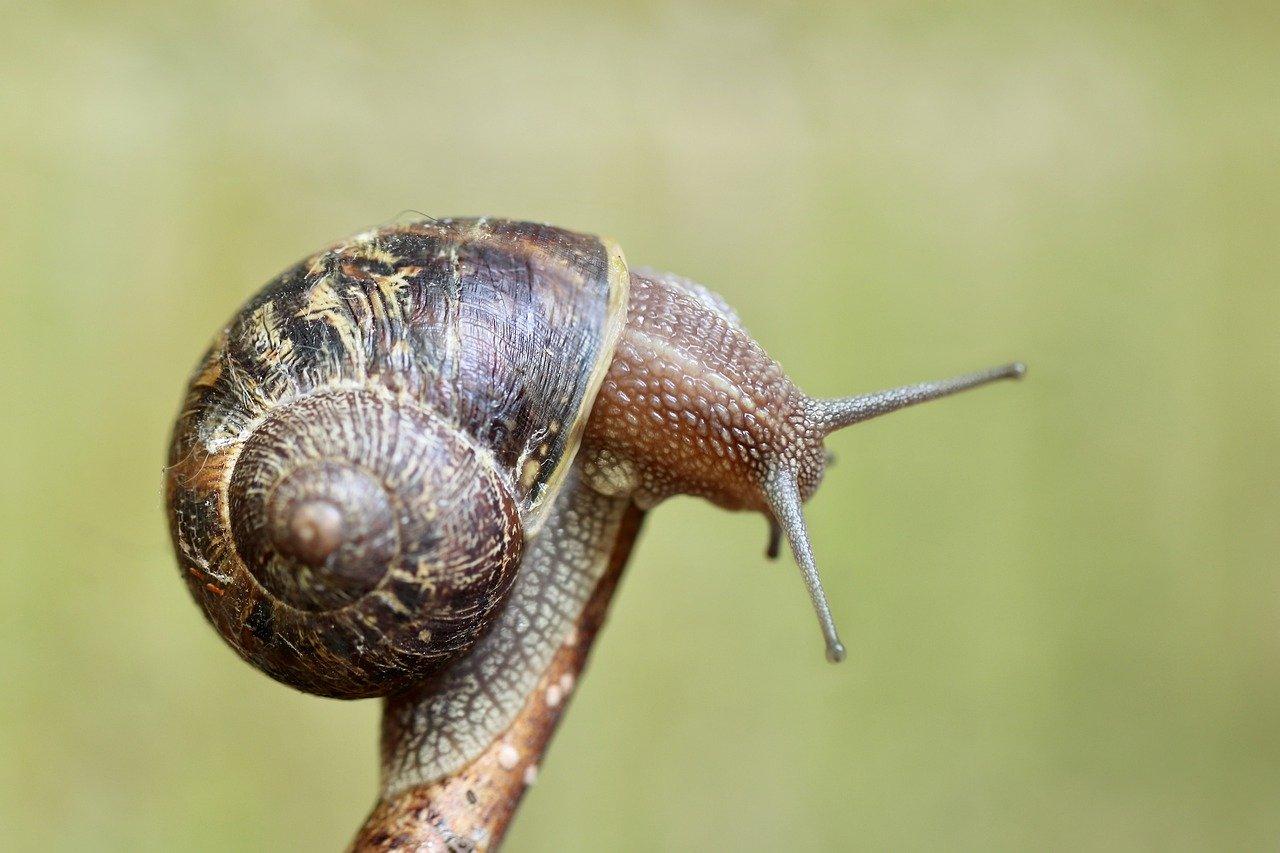 snail, shell, wirbellos